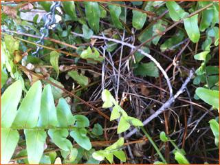 pigeon-original-nest-in-fern